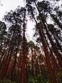 Pines are u tall?.jpg