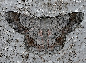 Pingasa rubicunda (Geometridae Geometrinae).jpg