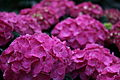 Pink-hydrangea-macro - West Virginia - ForestWander.jpg