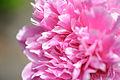 Pink Peony Closeup (18340757456).jpg