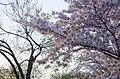 Pink cherry blossom catch the dawn light - 2013-04-09 (8634559885).jpg