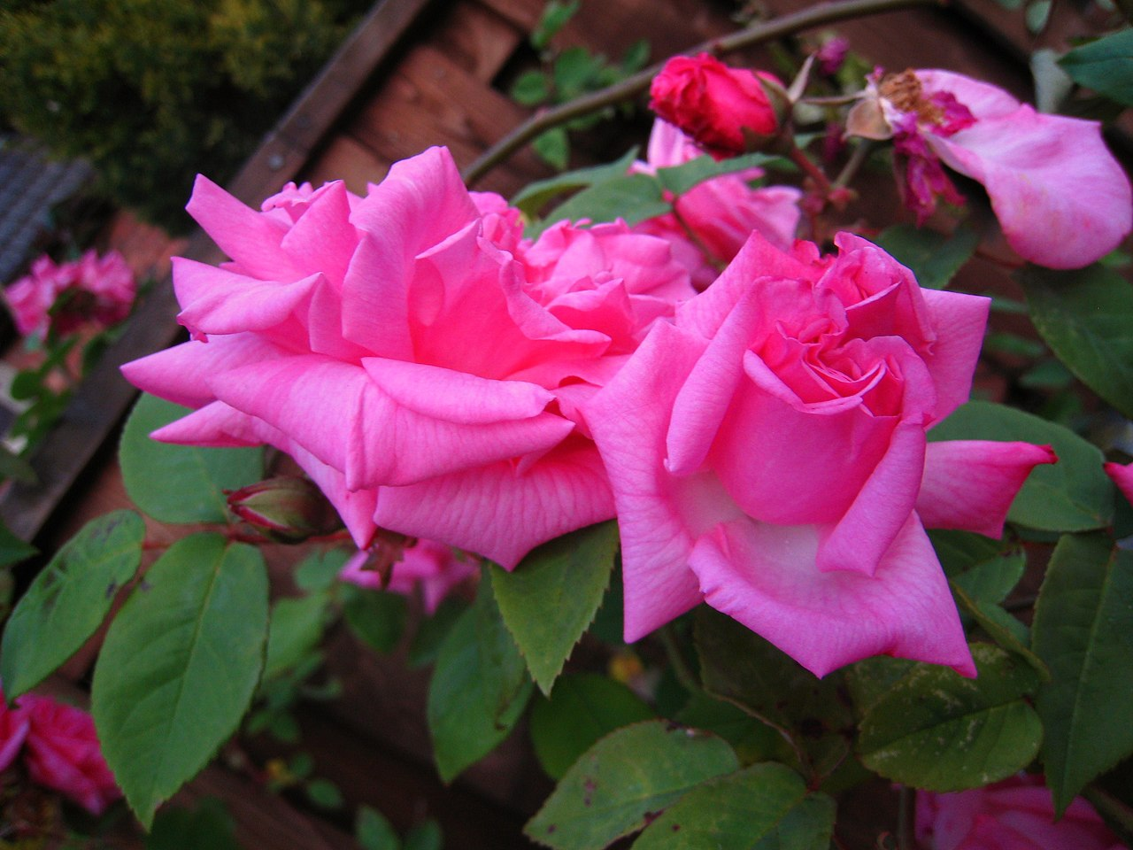File Pink Roses In The Garden Jpg Wikimedia Commons