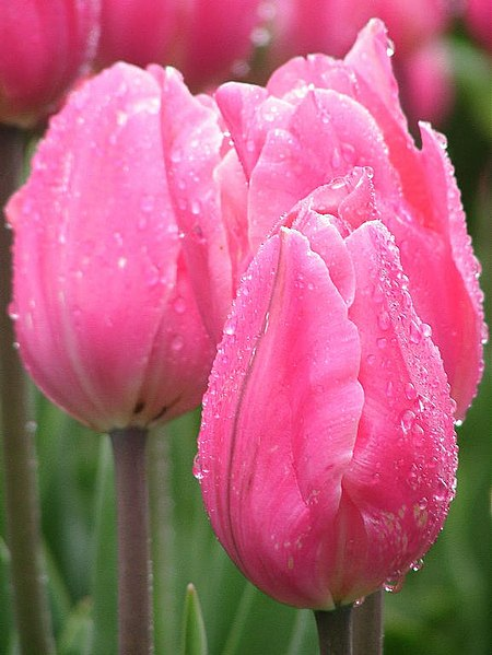 File:Pink tulips closed.jpg