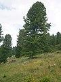 Pinus cembra RHu 02.JPG