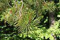 Pinus contorta latifolia foliage.JPG