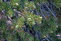 Pinus edulis, Cold Shivers Point, Columbus Canyon, Colorado NM, Colorado.jpg