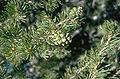 Pinus edulis foliage.jpg