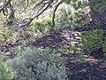 Pinus flexilis (4430508202).jpg