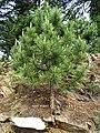 Pinus gerardiana India16.jpg
