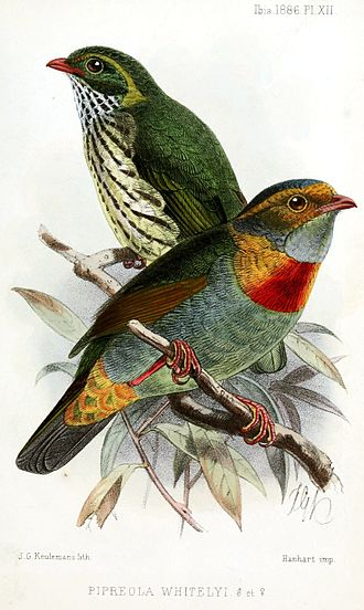 John Gerrard Keulemans - Red-banded fruiteater (Pipreola whitelyi), 1886