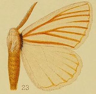 <i>Phiala nigrolineata</i> Species of moth