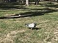 Plage Flic-en-Flac (Maurice) - pigeon.JPG