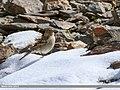 Plain Mountain Finch (Leucosticte nemoricola) (37799234971).jpg