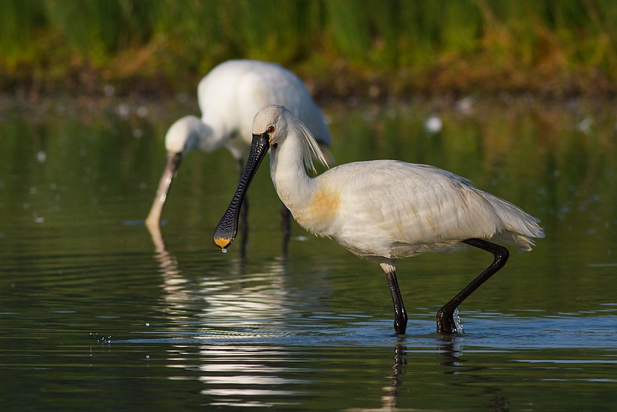 English:  Eurasian Spoonbill.