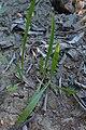 Plantago lanceolata kz01.jpg
