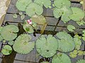 Plants at Queen Sirikit Botanic Garden - Chiang Mai 2013 2574.jpg