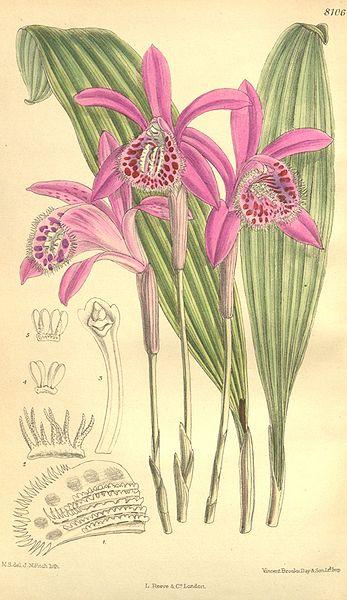 File:Pleione yunnanensis - Curtis' 132 (Ser. 4 no. 2) pl. 8106 (1906).jpg
