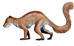 Plesiadapiformes - Plesiadapis