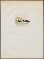 Podiceps novae hollandiae - 1845-1863 - Print - Iconographia Zoologica - Special Collections University of Amsterdam - UBA01 IZ17800109.tif