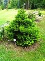 Podlaskie - Suprasl - Kopna Gora - Arboretum - Chamaecyparis pisifera 'Plumosa Aurea Compacta'.JPG