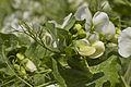 Pois d'hiver ISARD (précoce,jaune) Agri-Obtentions-6-cliche Jean Weber (23716013099).jpg