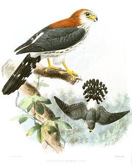 White-rumped falcon species of bird