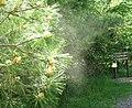 Pollen from pine tree.jpg