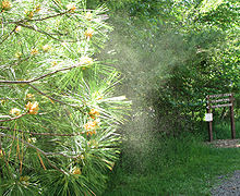 L'impollinazione anemogama è comune tra le Gimnosperme