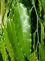 Polyalthia longifolia var pendula - leaves 1.jpg