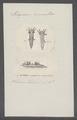 Polycerus cornutus - - Print - Iconographia Zoologica - Special Collections University of Amsterdam - UBAINV0274 080 18 0003.tif