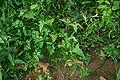Polygonum arifolium 001.JPG