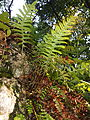 Polypodium vulgare from below.jpg