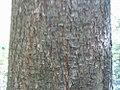 Poncirus trifoliata 1zz.jpg