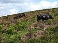 Ponies and foals, Hamel Down, Dartmoor - geograph.org.uk - 1054944.jpg