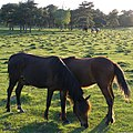 Ponies grazing on Half Moon Common, New Forest - geograph.org.uk - 441683.jpg