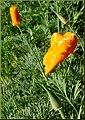Poppies, ESRI 3-24-13 (8595962398).jpg