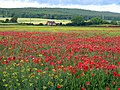 Poppies at Dilston, between Hexham and Corbridge - geograph.org.uk - 1360361.jpg