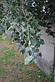 Populus alba 03.jpg