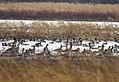Port Louisa Waterfowl (16063228236).jpg