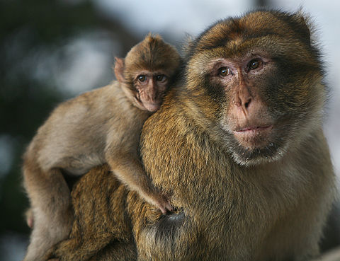 An adult male Barbary macaque carrying his offspring, a behaviour rarely found in other primates. Portrait of a father.jpg