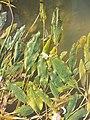 Potamogeton nodosus sl37.jpg
