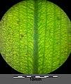 Potamogeton nodosus sl62.jpg