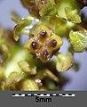 Potamogeton perfoliatus sl16.jpg