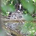 Powerful Owl (Ninox strenua) (30552436804).jpg