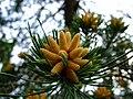 Průhonice, zámecký park, kvetoucí borovice.jpg