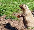 Prairie Dog (6207905617).jpg