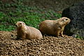 Prairie dogs at the memphis zoo.JPG