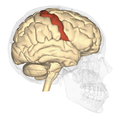 Precentral gyrus - lateral view.png