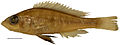 Preserved colours of Haplochromis argens male holotype (RMNH.PISC.83588) - ZooKeys-256-001-g005.jpeg