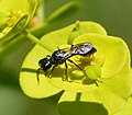 Probably Pemphredon species. Crabronid wasp (31890720530).jpg